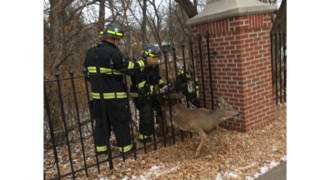 Deer Trapped in Fence Rescued by Minn. Crews