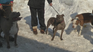 Pit bulls alert N.Y. family to fire