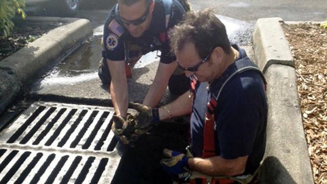 St-Petersburg-Firefighters-Rescue-Ducklings-2.JPG