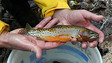 Cutthroat Trout Evacuated From N.M. Fire Area