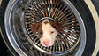 California Firefighters Free Puppy From Auto Wheel
